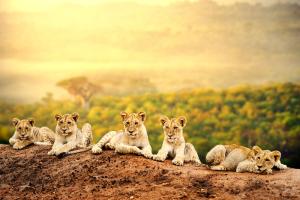 Lions in Kruger Park Nelspruit